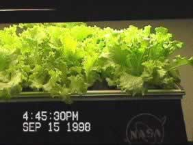 NASA SBIR study for lettuce product is available on CD_ROM